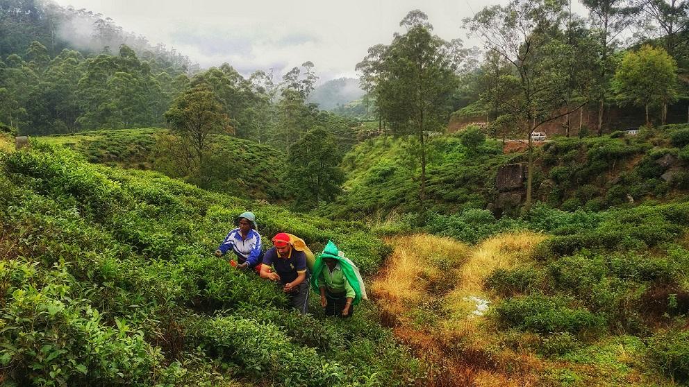 Nuwara Eliya Tea Garden - beingatraveler.com - bilal azam
